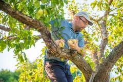Man picking apples Royalty Free Stock Photos