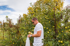 Man Picking Apples Stock Photography