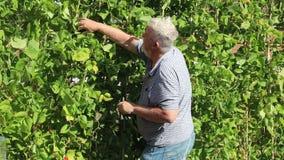 Man picking beans. stock footage