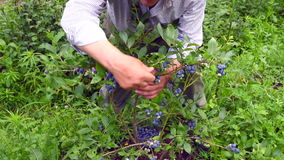 Man is picking blueberries. Stock Images
