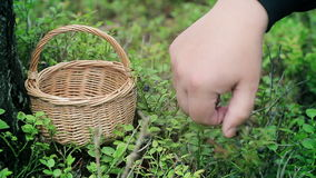 Man picking blueberries in forest stock video