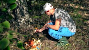 Man picking boletus mushroom growing under birch tree to wicker basket. stock footage