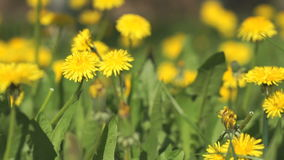 Man picking bouquet of yellow dandelions close-up. Man picking a bouquet of yellow dandelions close-up. Beautiful yellow dandelions on a sunny spring day stock footage