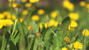 Man picking a bouquet of yellow dandelions. Dandelion flowers close-up stock video