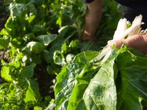 A man picking chard from garden Royalty Free Stock Image