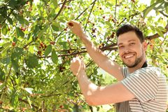 Man picking cherries in garden. On sunny day royalty free stock photo