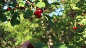 Man picking cherries in summer garden. Cherry picking In the garden with tree branches. berries picker. Man picking ripe red cherries in summer garden stock footage