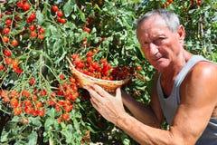 Man picking cherry tomato royalty free stock photography