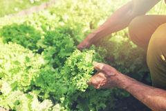 Man picking fresh lettuce from garden bed royalty free stock photos