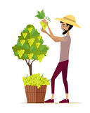 Man Picking Grape During Wine Harvest. Harvesting icon. Smiling vintner harvesting a bunch of white grapes in vineyard.  object in flat design on white Royalty Free Stock Photography