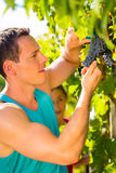 Man picking grapes with shear at harvest time Royalty Free Stock Photography