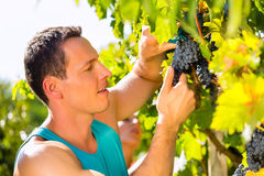 Man picking grapes with shear at harvest time Royalty Free Stock Photos