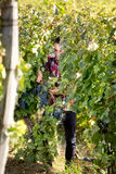 Man picking grapes Stock Photography