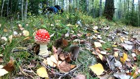 A man picking mushrooms in the autumn forest stock video footage