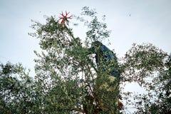 Man picking olives by rake royalty free stock images