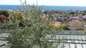 Man picking olives from tree using telescopic electric machine. View of coastal town and sea in Liguria, Italy. Italian olive oil. Production, organic farm stock video footage