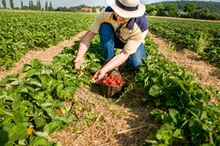 Strawberry harvesting- man with a basket of strawberries. Man picking ripe strawberries on the strawberrry plantation on a sunny summer day Stock Photography