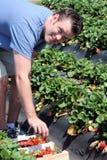 Man Picking Strawberries Royalty Free Stock Photography