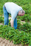 Man Picking Strawberries Royalty Free Stock Photography