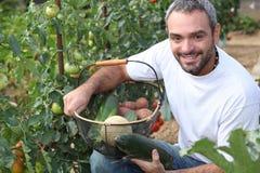 Man picking tomatoes Royalty Free Stock Photo