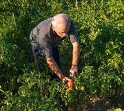 Man picking tomatoes Stock Photography