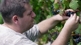 Man picking an trying out ripe grape berries. Visiting sea side stock footage