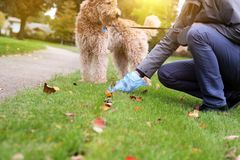 Man  Picking up / cleaning up dog droppings. Stock Images