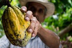 Man Picking Yellow Cocoa Fruit Stock Photos