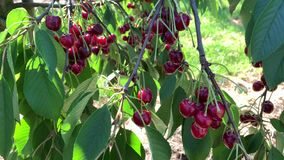 A man picks cherries from a tree. A man collects red and ripe cherries from a tree stock video footage