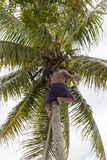 Coconut picker Royalty Free Stock Photography