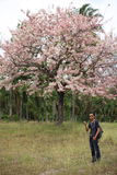 Man and Pink Pantip blossom flowers on the tree Royalty Free Stock Photo