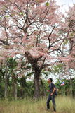 Man and Pink Pantip blossom flowers on the tree Royalty Free Stock Image