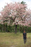 Man and Pink Pantip blossom flowers on the tree Royalty Free Stock Photography