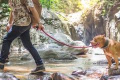 Man with Pit Bull dog Walking near waterfall royalty free stock image