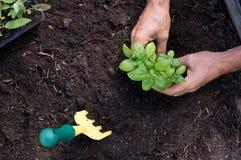 Man planting basil Royalty Free Stock Image