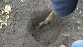 A man planting a hazelnut tree. Farmer digs a pit. A man planting a hazelnut tree stock video
