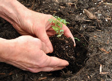 Man Planting a Plant. Hands Planting a Seedling Plant Royalty Free Stock Photography