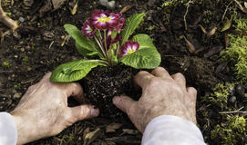 Man Planting Primroses in the Garden Stock Photos