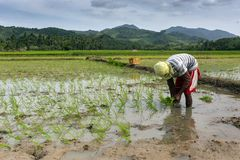 Man planting rice Royalty Free Stock Images