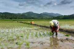 Man planting rice Royalty Free Stock Photography