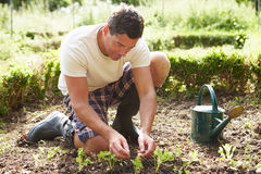 Man Planting Seedling In Ground On Allotment Stock Image