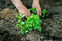 Man planting seedlings. Closeup of the hands of the person who is planting the seeds of pepper into the soil Stock Photo