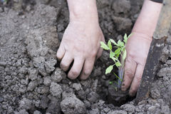 Man planting tomato. Seedling from plastic cup Royalty Free Stock Photo