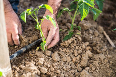 Man planting vegetables royalty free stock images