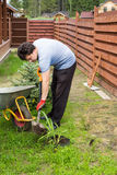 Man plants daylily in a garden Stock Photos