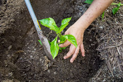 The man plants a paprika tree. Royalty Free Stock Photography