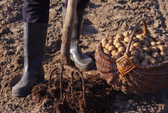 Man plants potatoes in the spring. Basket with seed potatoes and manure. Royalty Free Stock Photos