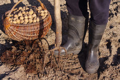 Man plants potatoes in the spring. Basket with seed potatoes and manure. Stock Photos