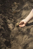 Man plants potatoes in the spring. Basket with seed potatoes and manure. Landing of potatoes. Royalty Free Stock Photo