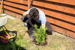 Man plants thuja in a garden Royalty Free Stock Photography